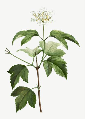 Blooming Guelder-rose