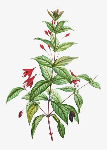 Flores fúcsia resistentes