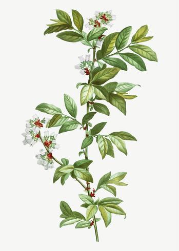 Açafrão de Vaccinium florescente
