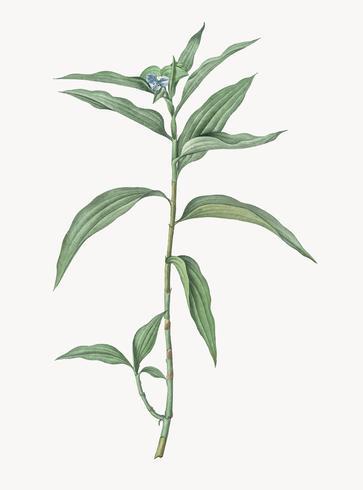 Illustrazione d'epoca di Dayflower