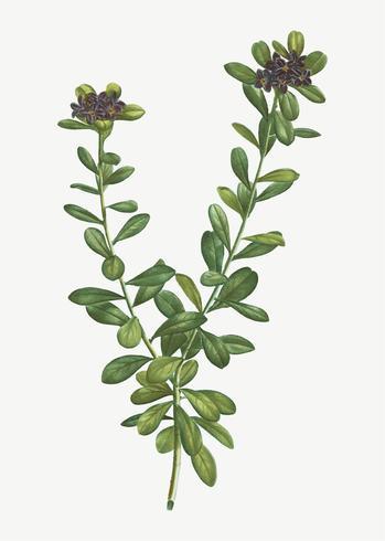 Flores de Daphne Sericea