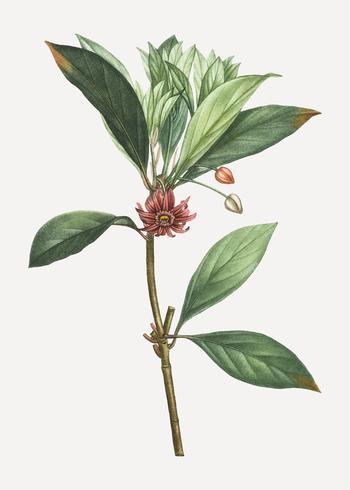 Planta de anis