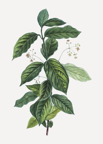Broadlead spindle plant
