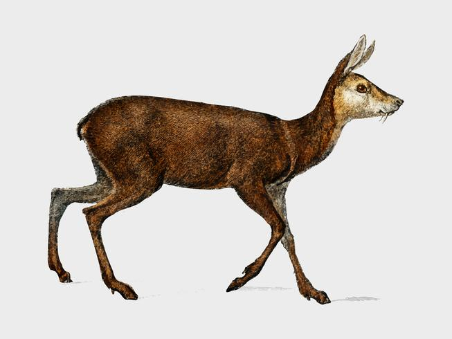 Moschus illustrated by Charles Dessalines D' Orbigny (1806-1876). Digitally enhanced from our own 1892 edition of Dictionnaire Universel D'histoire Naturelle.