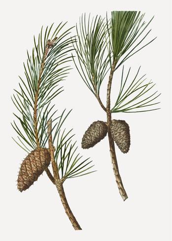 Rama de pino de Virginia