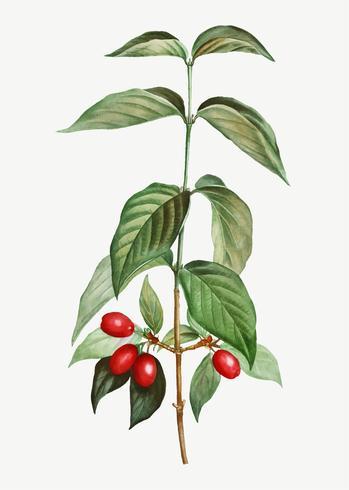 Red Dogwood berries