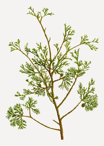 Atlantic white cypress branch
