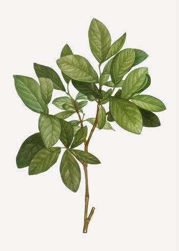 Plante de cuir de l'Est