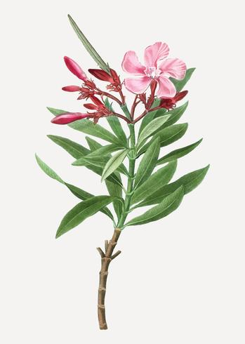 Pink oleander flower