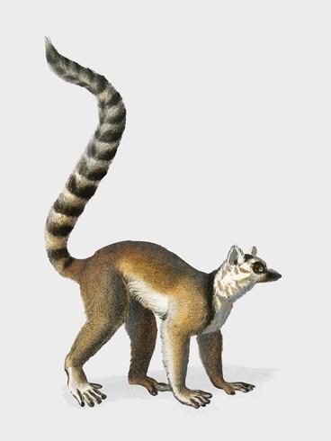 Ringstaartmaki (Lemur Catta) geïllustreerd door Charles Dessalines D 'Orbigny (1806-1876). Digitaal verbeterd van onze eigen uitgave van Dictionnaire Universel D'histoire Naturelle uit 1892.