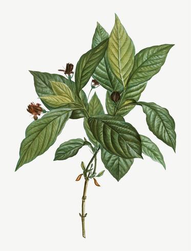 Alpine Honeysuckle-plant