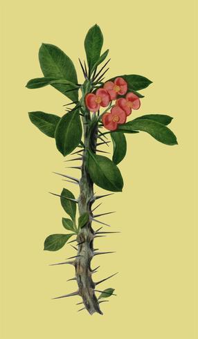 Euphorbia Splendens geïllustreerd door Charles Dessalines D 'Orbigny (1806-1876). Digitaal verbeterd van onze eigen uitgave van Dictionnaire Universel D'histoire Naturelle uit 1892.
