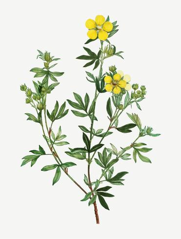 Flores de oro ranúnculo