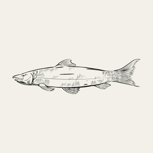 Vindima, ilustração, de, um, peixe