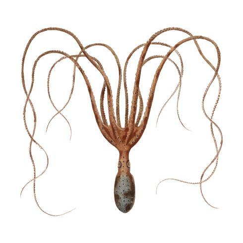 O polvo comum (Octopus vulgaris) ilustrado por Charles Dessalines D 'Orbigny (1806-1876). Digital reforçada a partir de nossa própria edição de 1892 do Dictionnaire Universel D'histoire Naturelle.