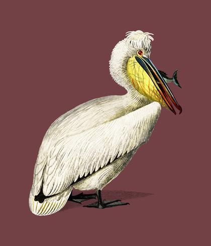 Pelican (Pelecanus) illustrerad av Charles Dessalines D 'Orbigny (1806-1876). Digitalförstärkt från vår egen 1892-upplaga av Dictionnaire Universel D'histoire Naturelle.