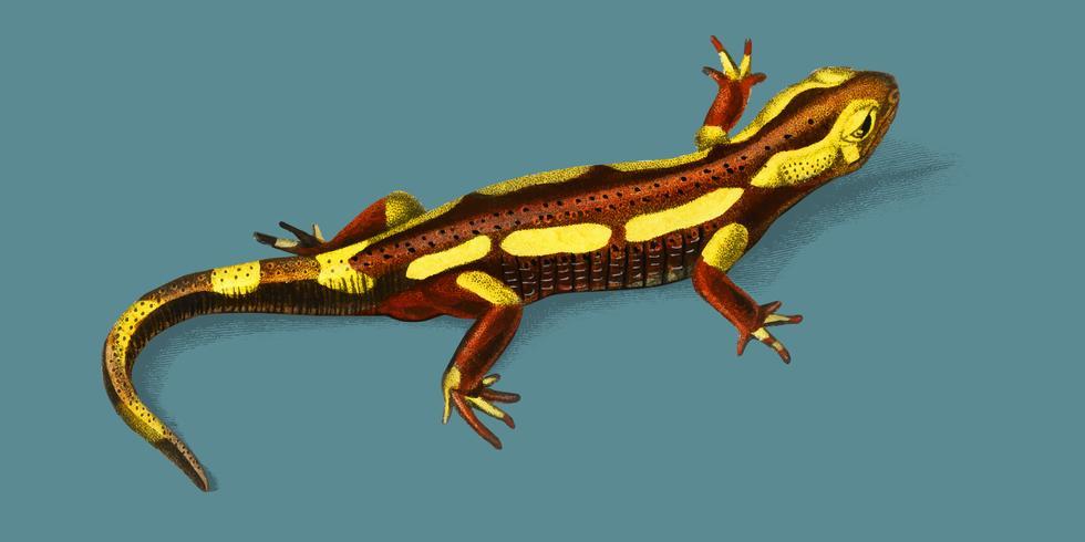 Vuursalamander (Salamandra Salamandra) geïllustreerd door Charles Dessalines D 'Orbigny (1806-1876). Digitaal verbeterd van onze eigen uitgave van Dictionnaire Universel D'histoire Naturelle uit 1892.