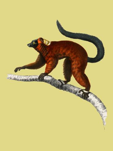 Red ruffed Lemur (Varecia Rubra) illustrated by Charles Dessalines D' Orbigny (1806-1876). Digitally enhanced from our own 1892 edition of Dictionnaire Universel D'histoire Naturelle.