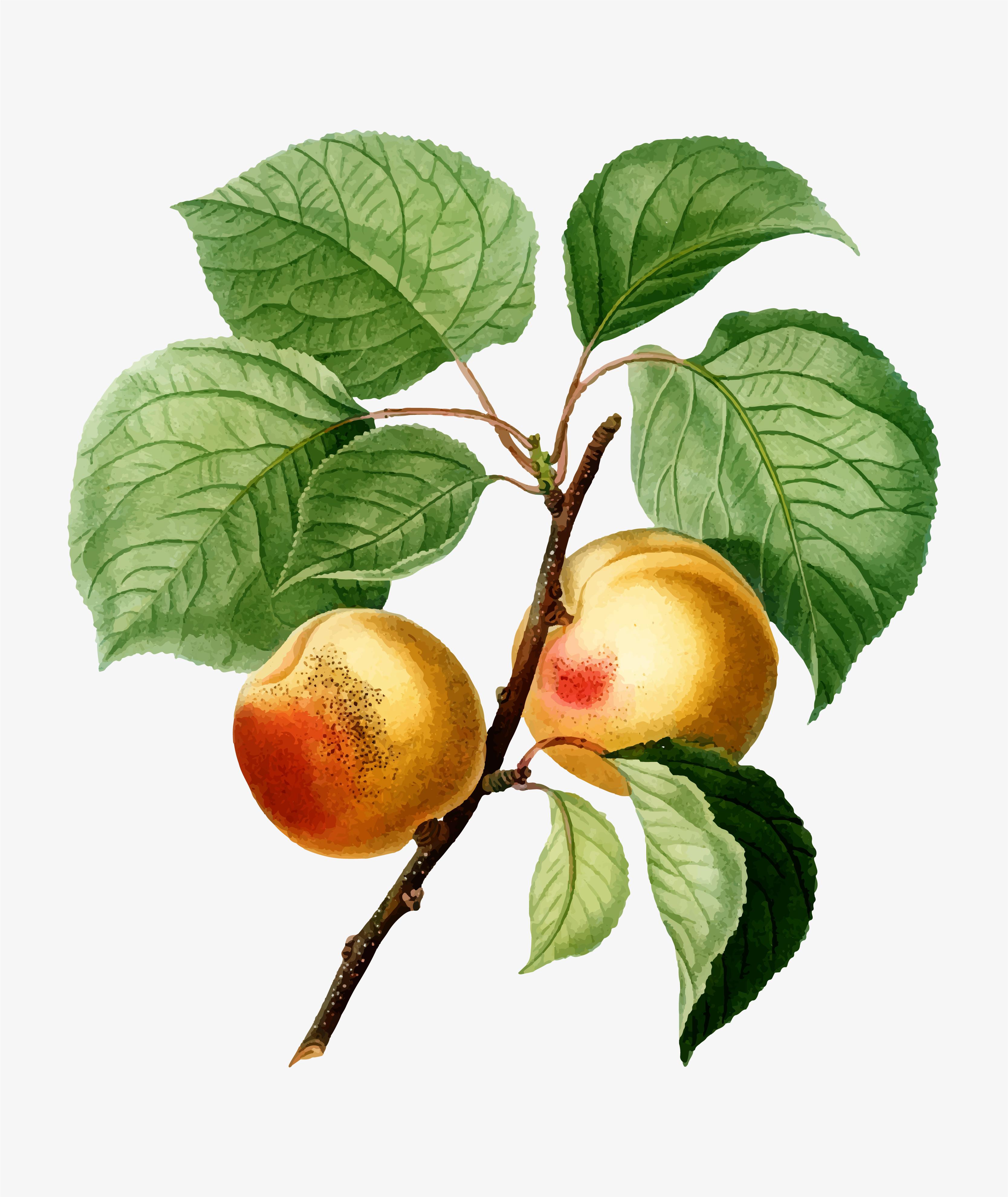 поможет рисунок абрикоса дерево этих