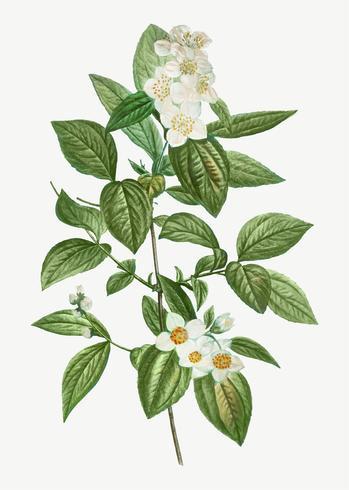 Floraison de coronarius philadelphus