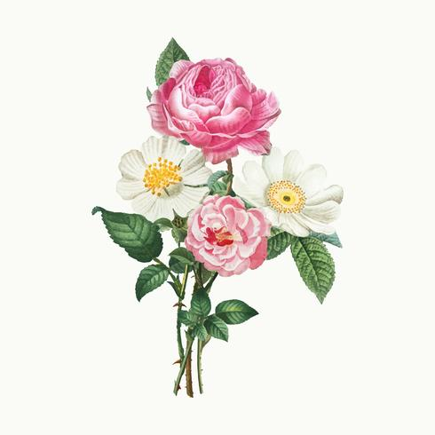 Pink and white roses