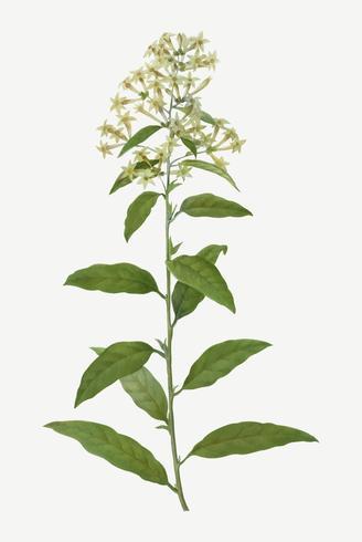 Flor verde cestrum