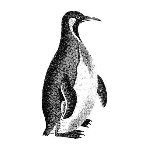 Vintage illustrations of Patagonian penguin