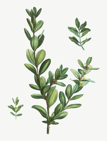Arbusto de Buxus Colchica