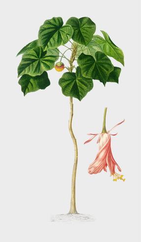 Astrapoea Wallichii illustré par Charles Dessalines D'Orbigny (1806-1876). Amélioré numériquement à partir de notre propre édition de 1892 du Dictionnaire Universel D'histoire Naturelle.