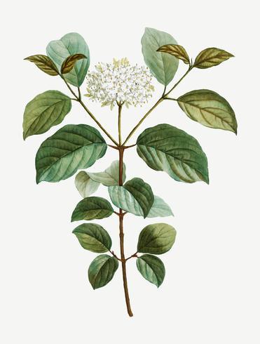 Flor dogwood comum