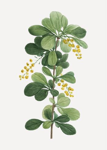 Gemeenschappelijke berberisbloemen