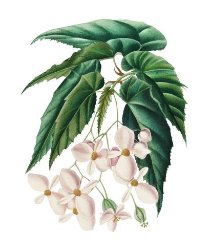 Begonia (Begonia incarnata) illustrated by Charles Dessalines D' Orbigny (1806-1876). DDigitally enhanced from our own 1892 edition of Dictionnaire Universel D'histoire Naturelle.