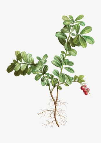 Arbusto de arando