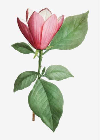Magnolia japonesa