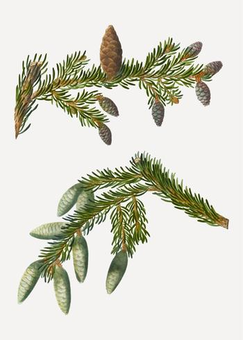 Svart granträd