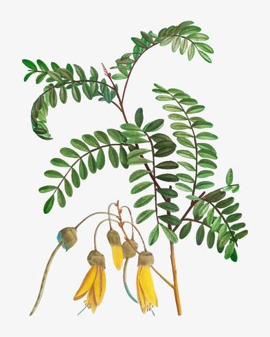 Blooming Sophora tetraptera