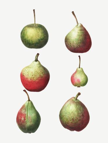 Tappning av päronpäron