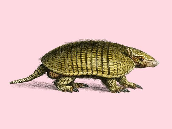 Gelbes Gürteltier (Euphractus sexcinctus), illustriert von Charles Dessalines D 'Orbigny (1806-1876). Digital verbessert aus unserer 1892er Ausgabe von Dictionnaire Universel D'histoire Naturelle.
