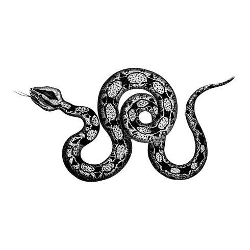 Vintage Illustrationen von Constrictor Boa