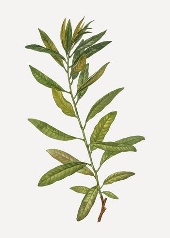 Planta de Rhodora