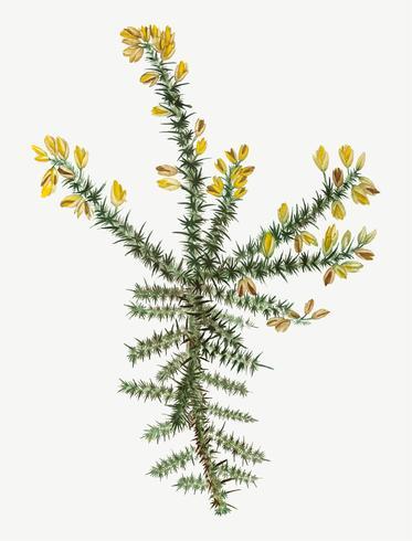 Flor de tojo amarelo