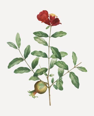 Pomegranate tree branch