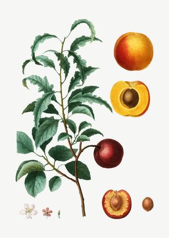 Steg av en aprikos