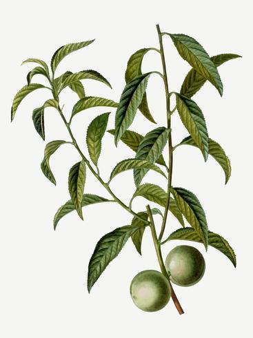 Galho de árvore de pêssego