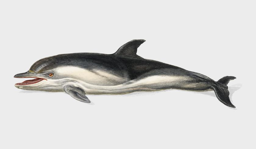 Delphinus delphis illustrated by Charles Dessalines D' Orbigny (1806-1876). Digitally enhanced from our own 1892 edition of Dictionnaire Universel D'histoire Naturelle.