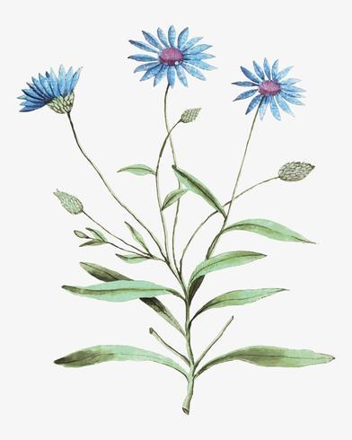 Blå halmblomma i vintage stil