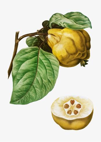 Quince frukt
