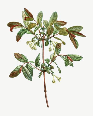 Bloeiende Honeyberry-bloem