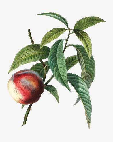Pfirsich-Obstbaum