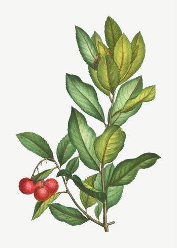 Strawberry tree branch